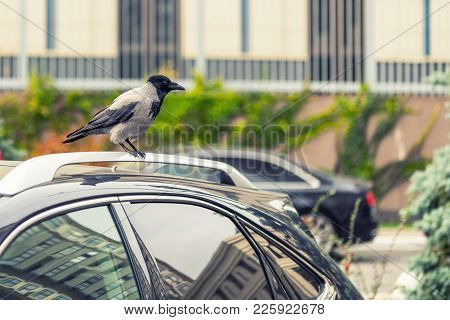 Crow Sitting On Car Rooftop. Birds Droppings On Car. Outdoor Parking. Paint And Lacquer Damage. Carw