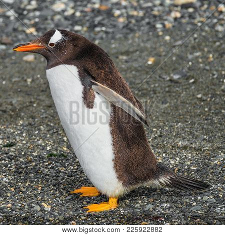 Jumping Gentoo Penguin Isolated At White Background, Beagle Channel In Patagonia, Argentina