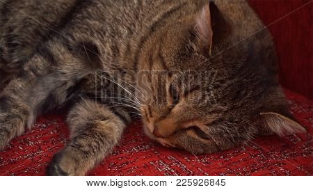 The Cat Is Lying On The Red Couch. Clip. Beautiful Fluffy Shaggy Cat Lying On The Couch Hd