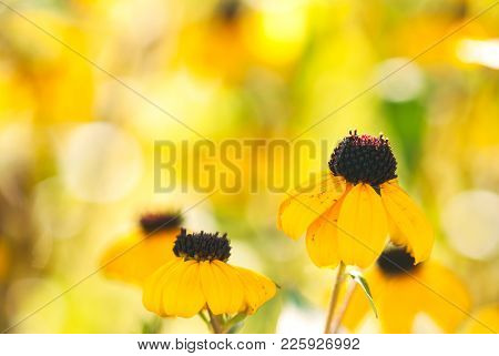 Yellow Black Eye Susan Flowers Bloom Against A Vibrant Yellow Background.