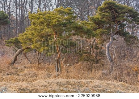 Evergreen Trees Growing In Front Of Deciduous Forest On Winter Day Under Overcast Sky