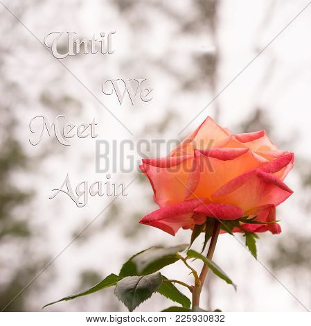 Rose Flower Square Background With Neutral Copy Space And Text Until We Meet Again Suitable For Symp