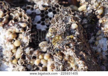 Destroyed Hornet's Nest. Drawn On The Surface Of A Honeycomb Hornet's Nest. Larvae And Pupae Of Wasp