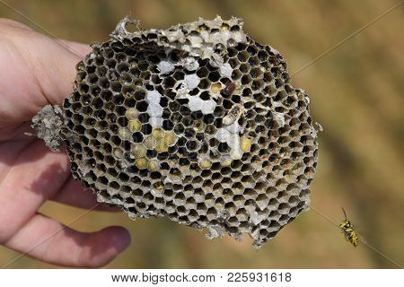 Sota From The Nest Of Wasps. Destroyed Hornet's Nest.