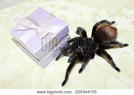 Closeup Of Dangerous Creepy Wolf Spider Tarantula Species