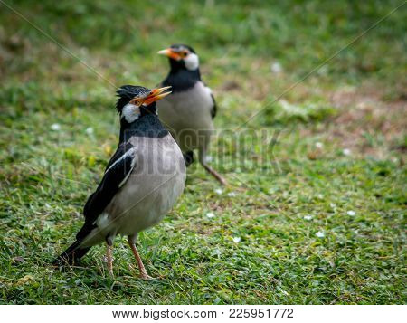 Pied Myna Or Asian Pied Starling (gracupica Contra)