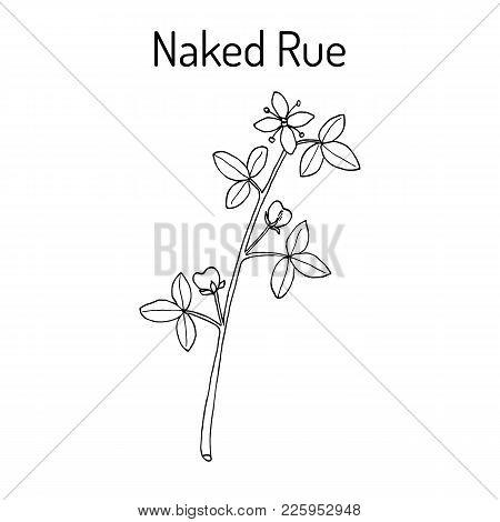 Naked Rue Psilopeganum Sinense , Medicinal Plant. Hand Drawn Botanical Vector Illustration