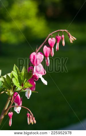 Pacific Or Wild Bleeding Heart, Dicentra Formosa, Flowers On Stem With Bokeh Background, Macro, Sele