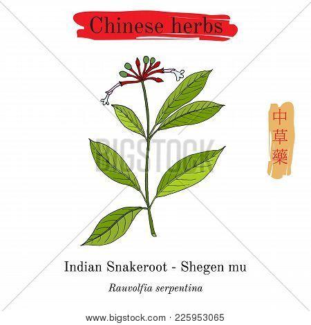 Medicinal Herbs Of China. Indian Snakeroot Rauwolfia Serpentina . Hieroglyph Translation Chinese Her
