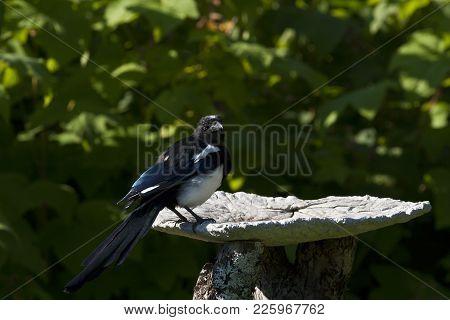A Magpie, Pica Pica Enjoy The Birdbath. Bushy Background.