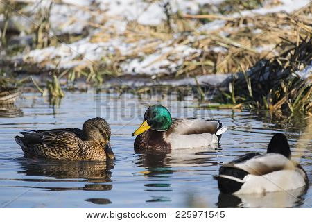 Drake And Mallard Female Winter Near Open Water On A Frozen River (anas Platyrhynchos)
