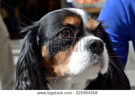 Portrait Of The Dog Cavalier King Charles