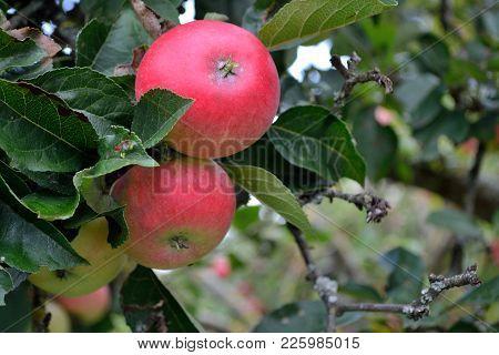 Natural Fruit On The Tree - Closeup Of Organic Fruit