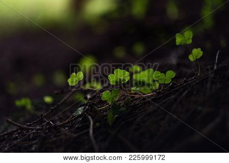 Shamrock Background For St. Patrick Day. Clover In A Dark Forest In The Morning Light. Selective Foc