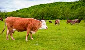 herd of cows on a pasture in mountains. big rufous cow in the foreground and forest in the distance. lovely scenery in springtime poster