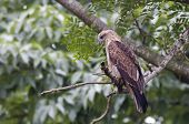 A juvenile brahminy kite sitting on a branch with a green background. poster