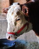 Cow in barn with a red halter. poster