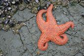 A starfish and other sea life clinging to the rocks at low tide poster