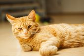 Cute red careless cat with long ears looking at camera laying on floor. Favourite domestic pet has rest, fluffy feline with green eyes poster