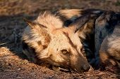 Wild dog lying in the on grass in sun closeup detail poster