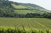 Vineyard at Dorking. Surrey. England. Box Hill on the North Downs in background. poster
