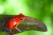 red poison dart frog sitting on leaf with copy space. Exotic rainforest animal bright vivid colors. dartfrog  in tropical rain forest. Oophaga pumilio, strawberry frog.  amphibian of jungle in Panama poster