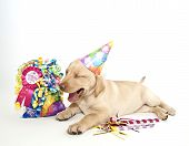 Yellow Lab puppy laughing or singing Happy Birthday on a white background. poster