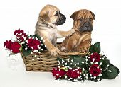 Shar pei puppy in a basket with red roses. The puppy looks like he is not going to listen to his friend on a white background. poster