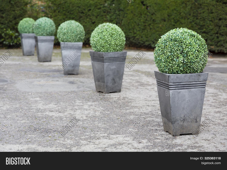 Buxus Boxwood Topiary Image Photo Free Trial Bigstock