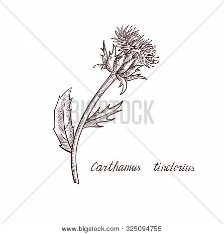 Vector Drawing Safflower Plant, Hand Drawn Illustration