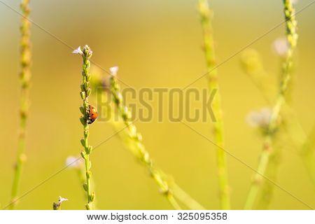 Nature Background Of Ladybug On Grass. Ladybug Insect In Nature. Nature Insect Ladybug On Grass Stem