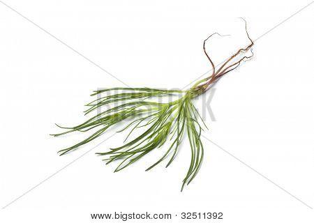 Fresh Saltwort on white background