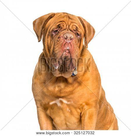 Dogue de bordeaux sitting against white background