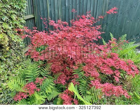 Red Japanese maple plant and green ferns the the garden