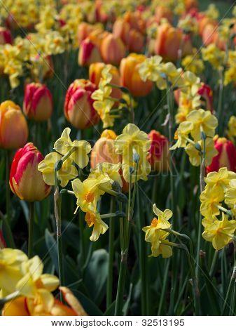 Flower bed full of tulip
