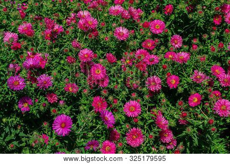 Chrysanthemums In The Botanical Garden. Chrysanthemum Blossoms, Chrysanthemums In Autumn, Flower Bal