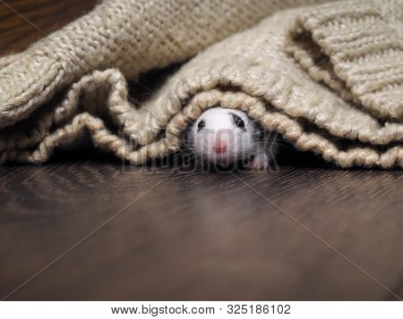 A White Rat Crawls Out From Under The Blanket. Rodent In The House