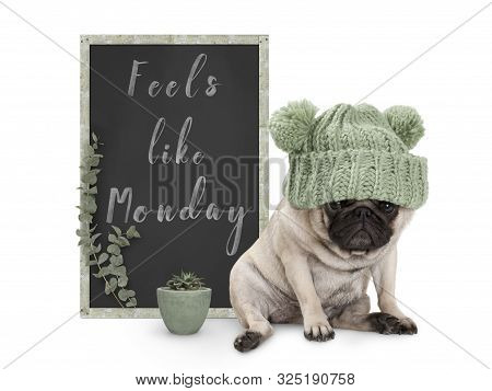 Cute Grumpy Pug Puppy Dog With Bad Monday Morning Mood, Sitting Next To Blackboard Sign With Text Fe