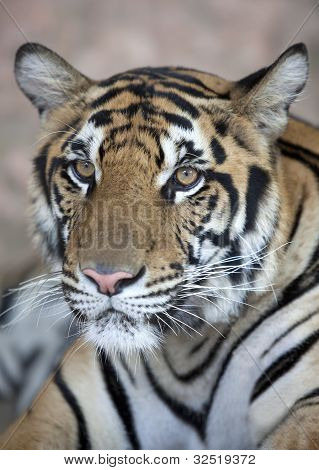 Close Up Of A Young Tiger's Face