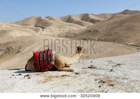 A camel in the desert of Judea
