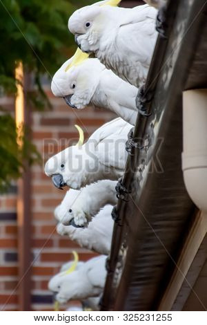 Sulphur-crested Cockatoos Seating In A Row On A Roof. Urban Wildlife. Australian Backyard Visitors