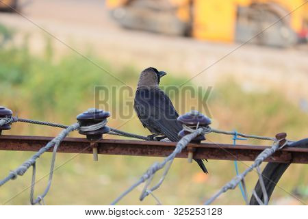 The House Crow, Also Known As The Indian, Greynecked, Ceylon Or Colombo Crow, Is A Common Bird Of Th
