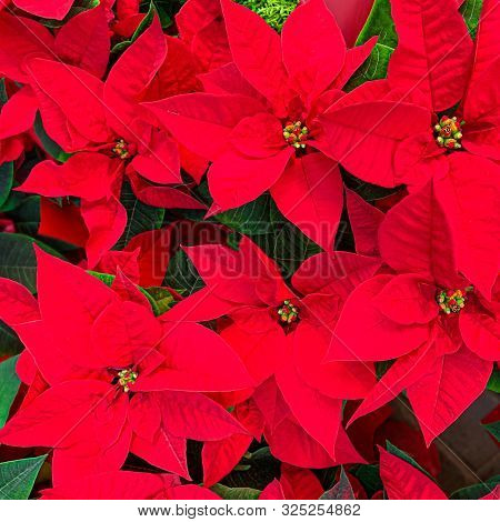 Christmas Poinsettia Plant As Background. Red Poinsettia Flower Close Up