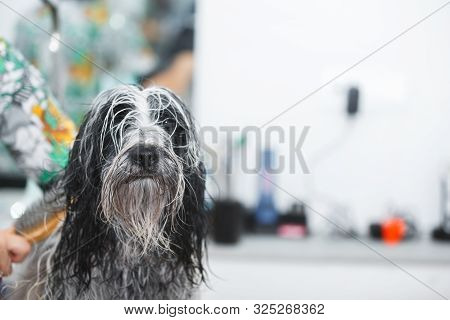 Tibetan Terrier  Dog Being Dried After Having A  Bath, Selective Focus
