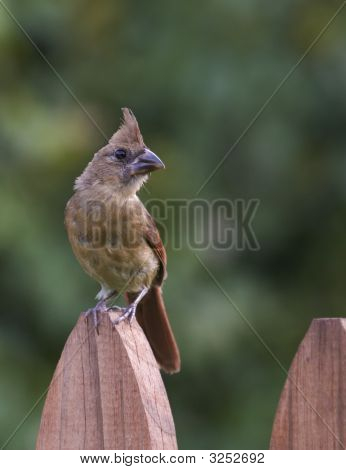 Female Cardinal On Fence Looking Right