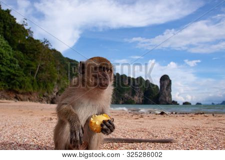 A close-up portrait of funny long-tailed macaque on a beach sitting and eating fruit peacefully.