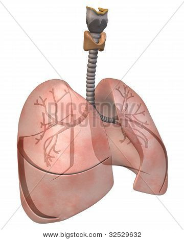 Lungs and Bronchi, Three_Quarter View