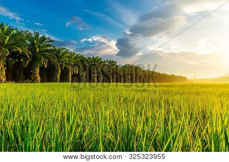 Rice Field With Sunrise Or Sunset Over The Sun In Moning Light