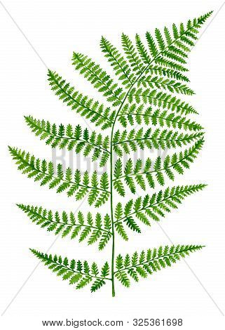 Watercolor Green Fern Leaf Isolated On White Background. Hand Drawn Botanical Illustration Of Forest