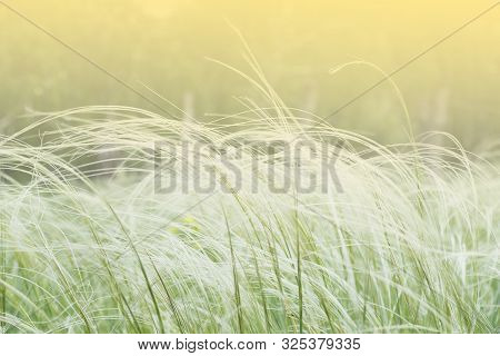 White Feather Grass Close-up, Stalks Spike In A Green Field. Summer Warm Day, Green Grass.
